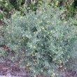 Hermannia hyssopifolia in flower