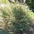 Hermannia hyssopifolia form