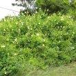 Hibiscus ludwiggii wild