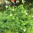 Hibiscus ludwiggii garden