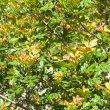 Hippobromis pauciflorus foliage
