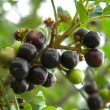 Hippobromis pauciflorus fruit