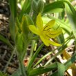 Hypoxis hemerocallidea flower head