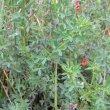Indigofera heterophylla dry