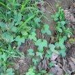 Ipomea ficifolia