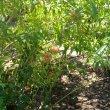 Kalanchoe rotundifolia