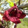 Kigelia africana flower