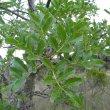 Kigelia africana foliage