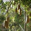 Kigelia africana fruit