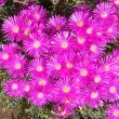 Lampranthus species dark pink