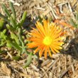 Lampranthus species light orange