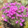 Lampranthus species magenta bush