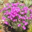 Lampranthus species magenta bush