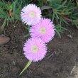 Lampranthus species pale pink