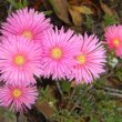 Lampranthus species peach pink