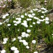 Lampranthus species white