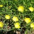 Lampranthus species yellow