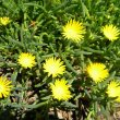 Lampranthus species yellow