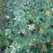 Leonotis ocymifolia
