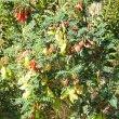Lessertia frutescens semi-wild
