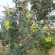 Lessertia frutescens form