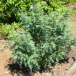 Lessertia frutescens full sun
