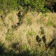 Lessertia frutescens wild