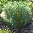 Lessertia frutescens some shade