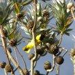 Leucodendron argenteum
