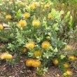 Leucospermum cordifolium - Kirstenbosch Botanical Gardens.