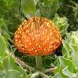 Leucospermum cordifoliumLeucospermum cordifolium