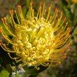 Leucospermum cuneiforme flower