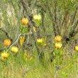 Leucospermum cuneiforme shrub
