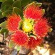 Leucospermum oleifolium flower