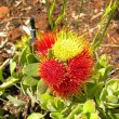Overberg pincushion flower