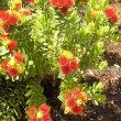 Leucospermum oleifolium flowers