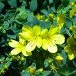 Linum africanum flower