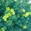 Linum africanum flower buds