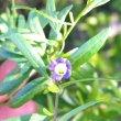 Lycium oxycarpum flower
