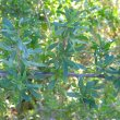 Lycium oxycarpum foliage