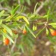 Lycium oxycarpum fruit