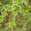 Lycium oxycarpum fruits