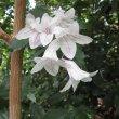 Mackaya bella flowers