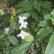 Mackaya bella foliage
