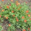 Malephora crocea 1st yr