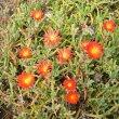 Malephora crocea 2nd yr