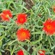 Malephora crocea flowers