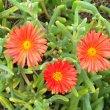 Malephora crocea flowers close