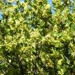 Maytenus procumbens flower mass
