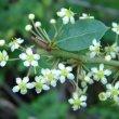 Maytenus procumbens flowers